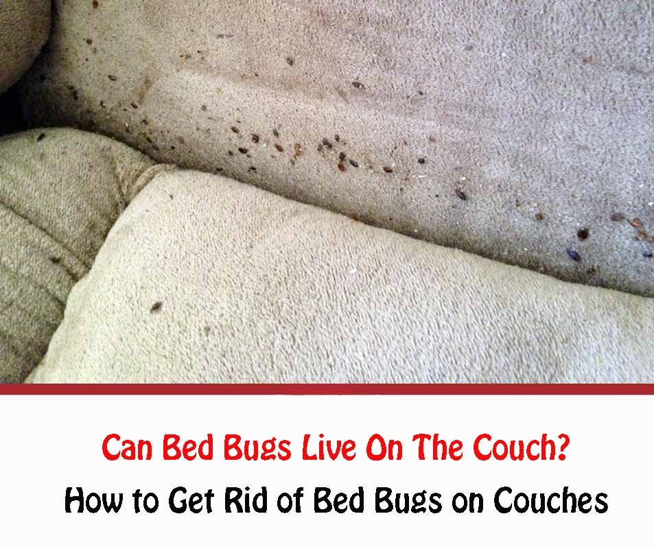 Can Bed Bugs Live On The Couch