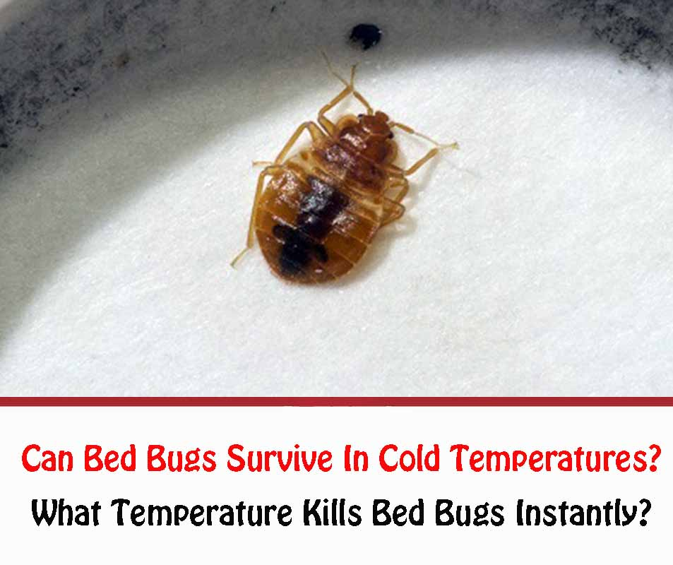Can Bed Bugs Survive In Cold Temperatures