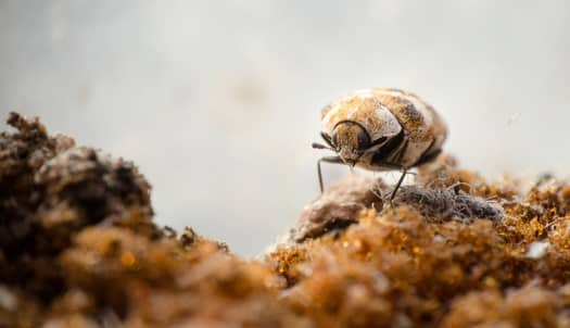 Can Carpet Beetles And Bed Bugs Get Together