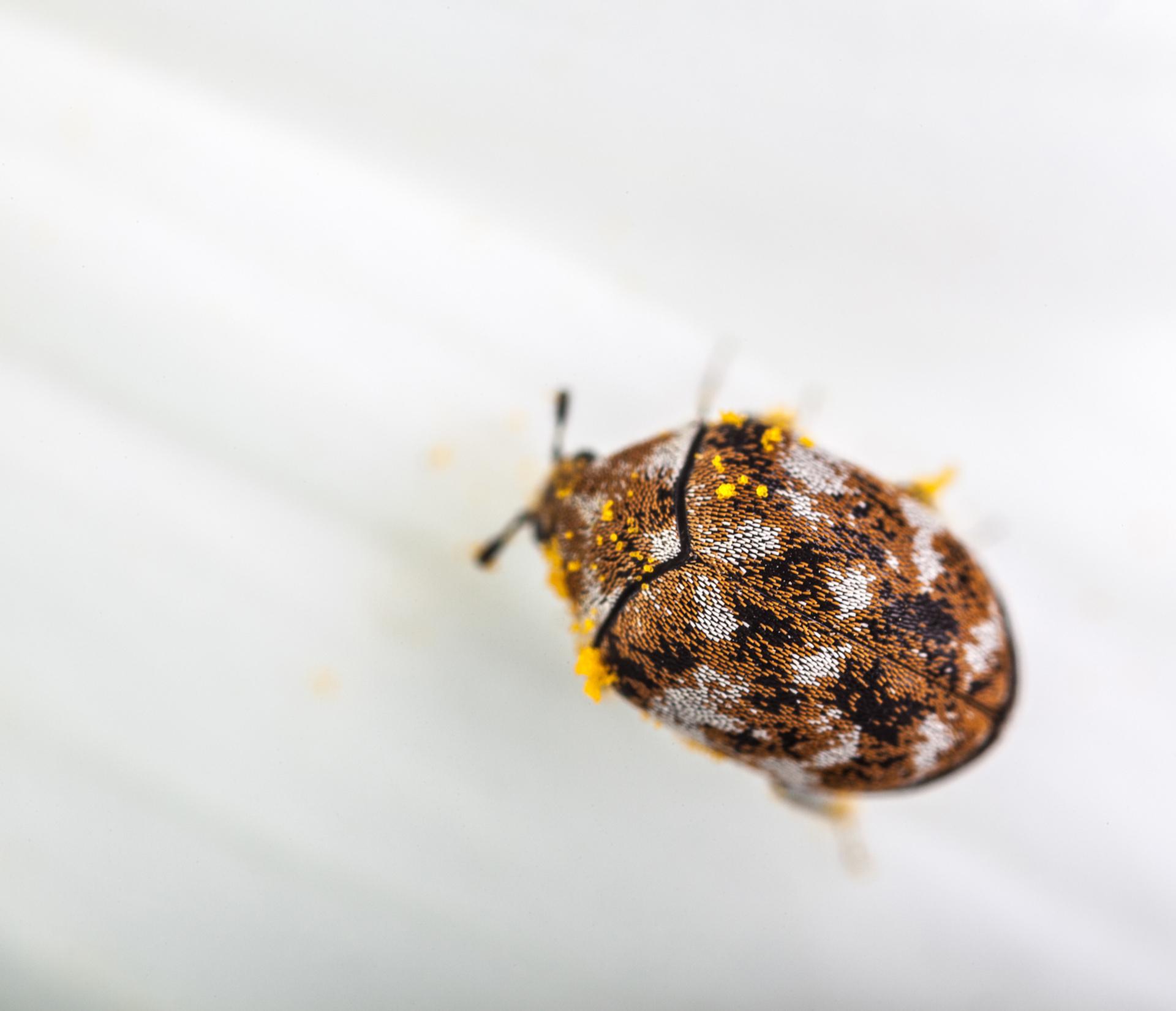 Carpet Beetle Life Cycle