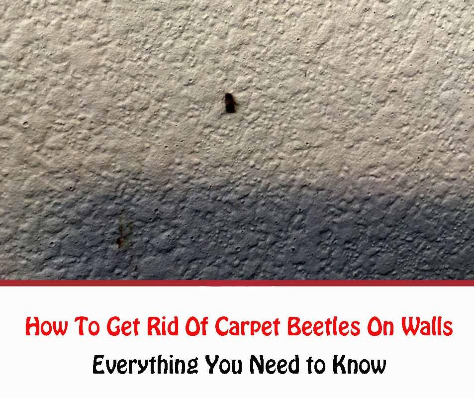 Carpet Beetles On Walls