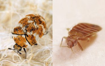 Carpet Beetles vs Bed Bugs