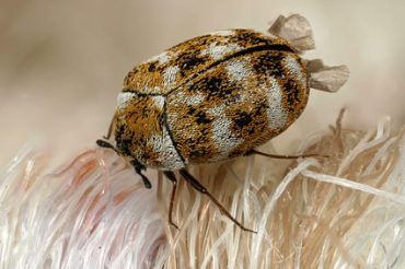 How Do You Get Carpet Beetles?