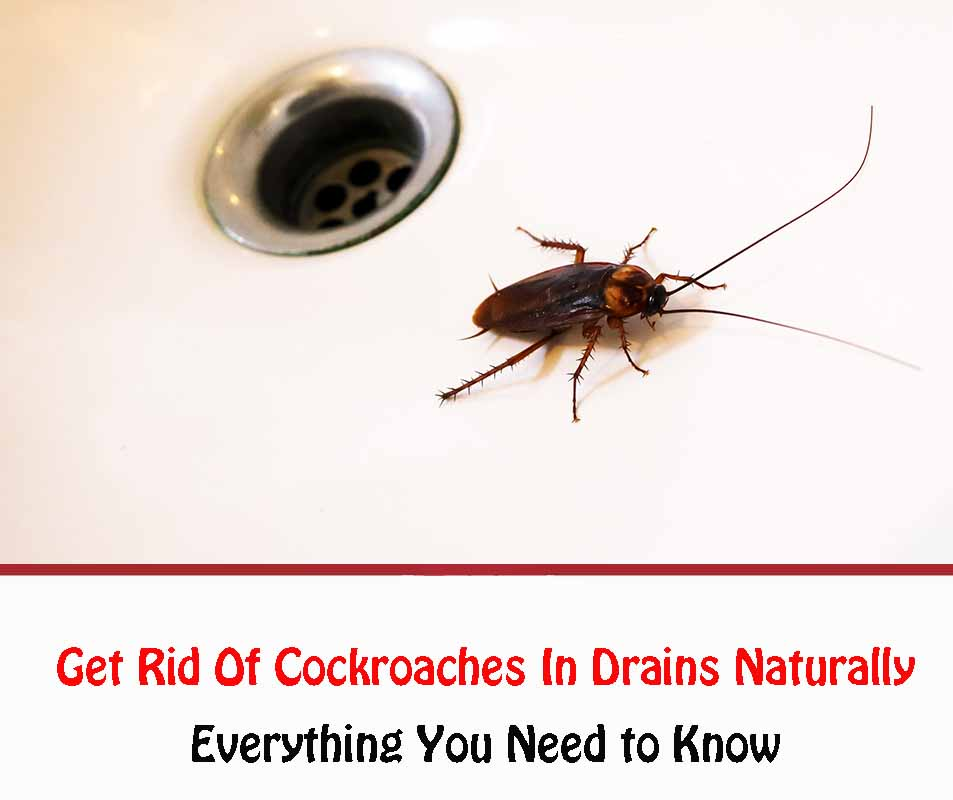 Cockroaches In Drains