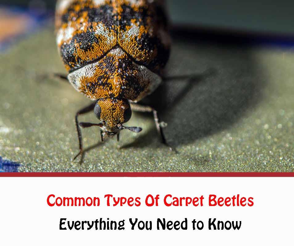 Common Types Of Carpet Beetles 2021
