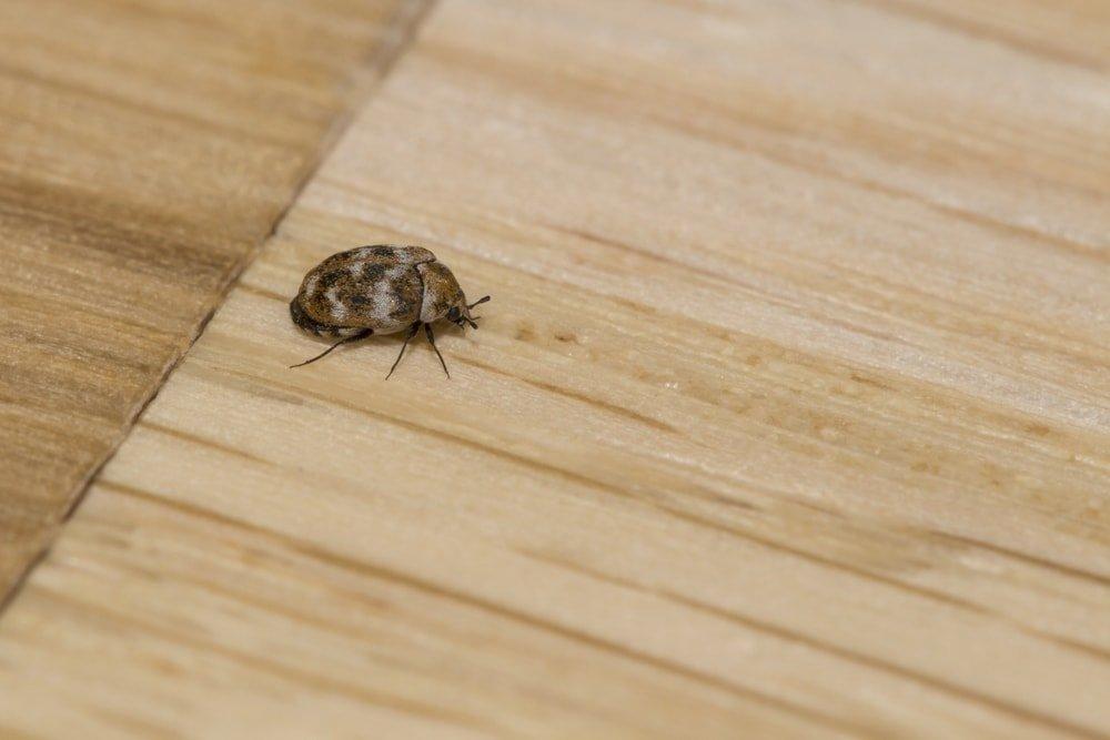 Do Carpet Beetles Bite