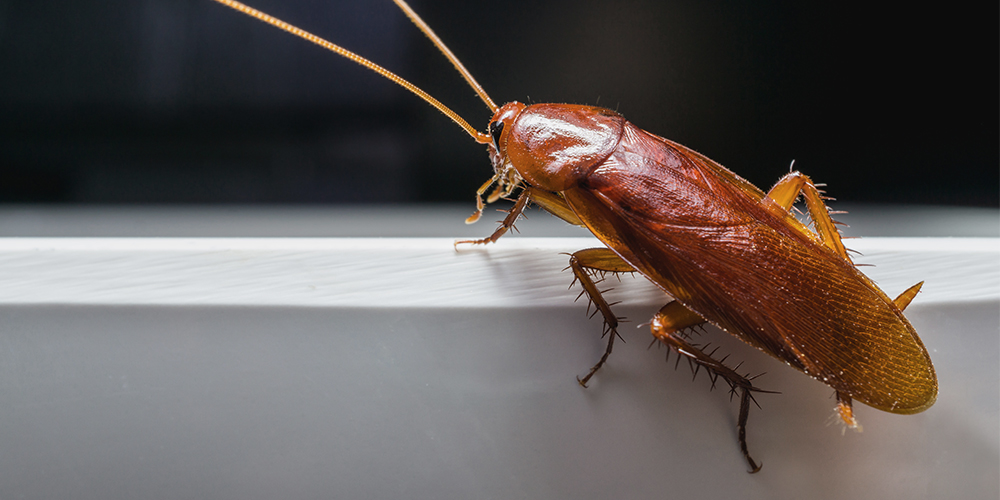 Do Cockroaches Sleep at night - Image By wilsoncontrol