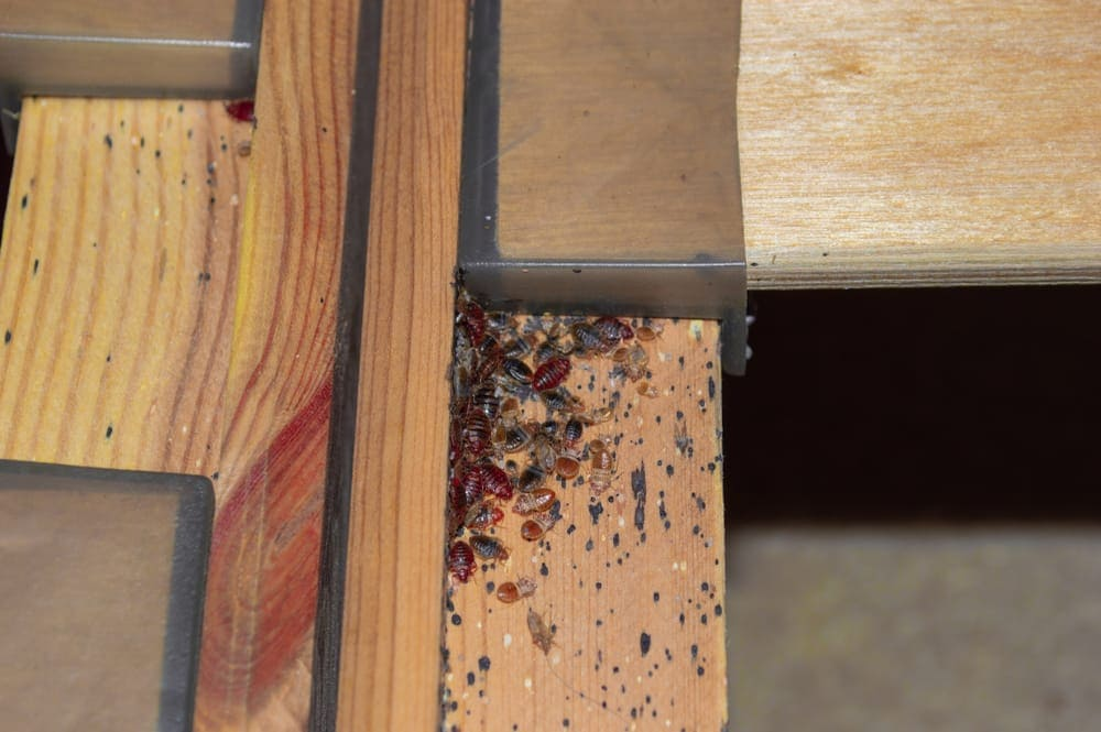 Do bed bugs lay eggs in wood