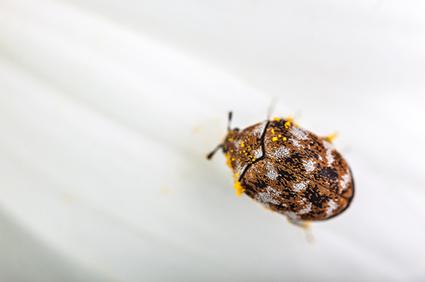 Do carpet beetles die at low temperatures