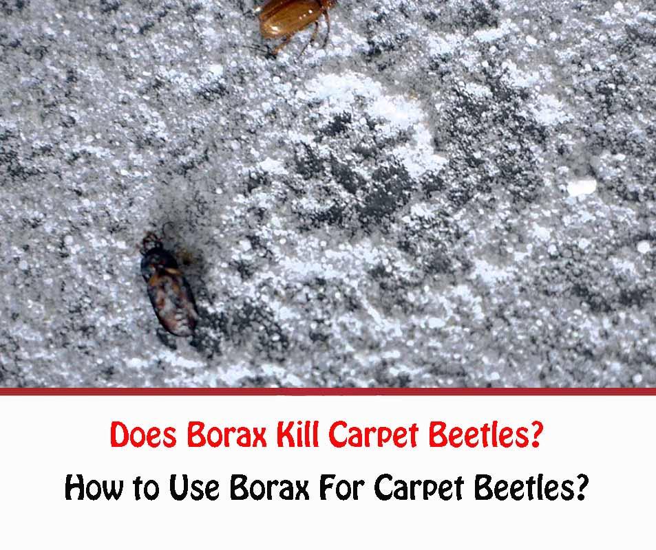 Does Borax Kill Carpet Beetles