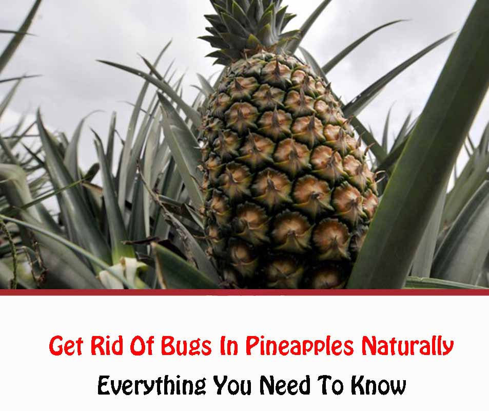 Get Rid Of Bugs In Pineapples Naturally 2021