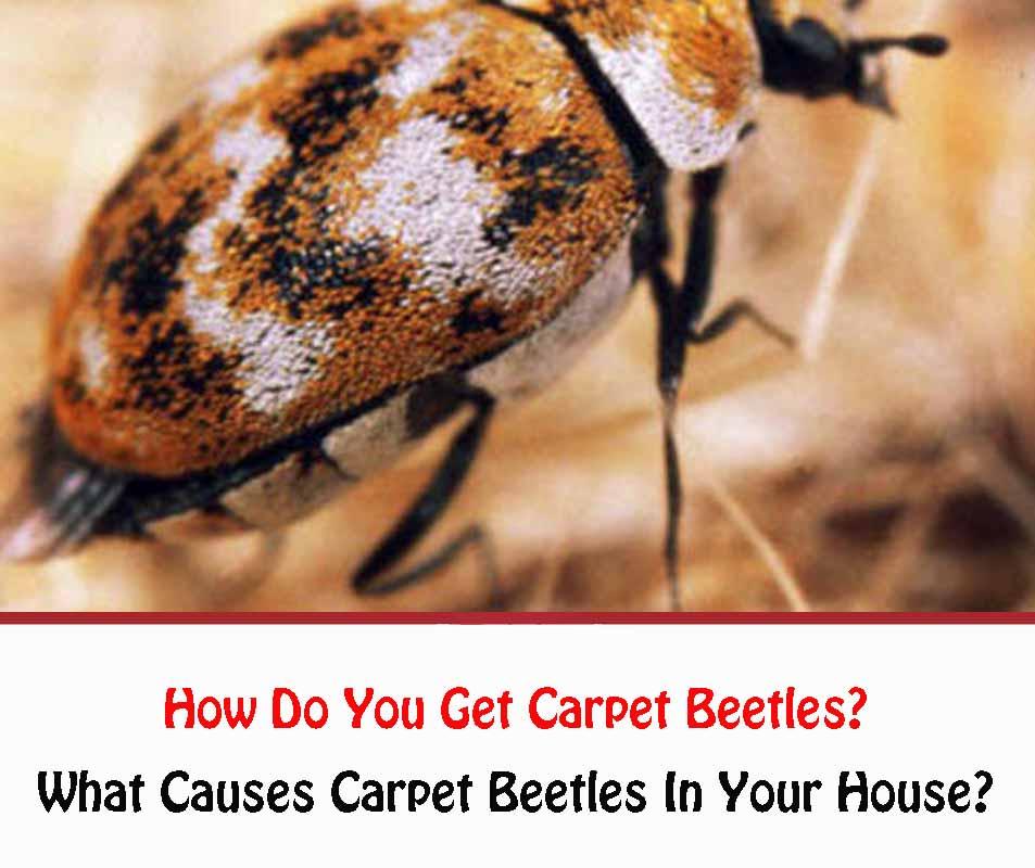 How Do You Get Carpet Beetles?