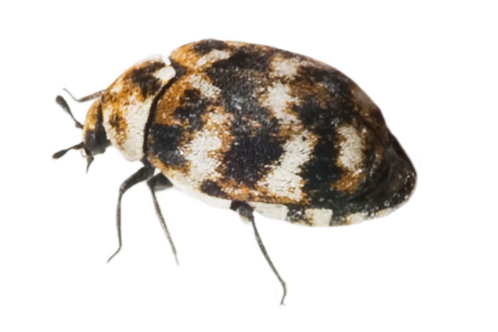 How Do you Treat Carpet Beetles?