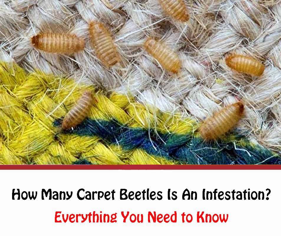 How Many Carpet Beetles Is An Infestation