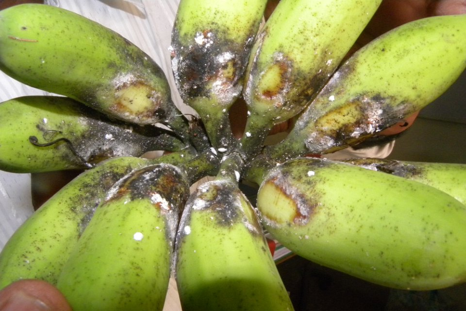 How To Get Rid Of Bugs In Pineapples Naturally