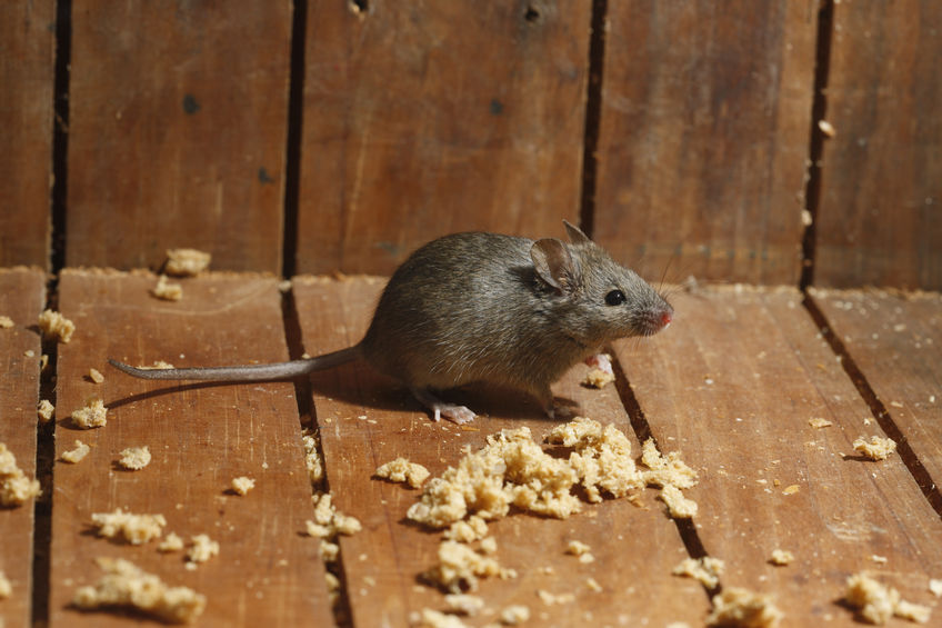 How To Get Rid Of Mice In Your Attic Naturally