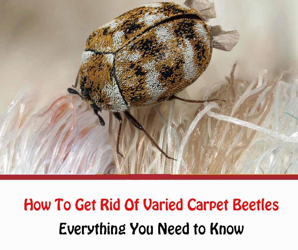 How To Get Rid Of Varied Carpet Beetles