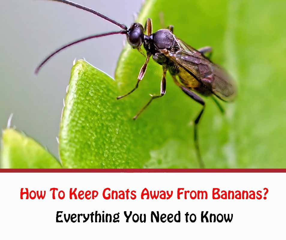 How To Keep Gnats Away From Bananas