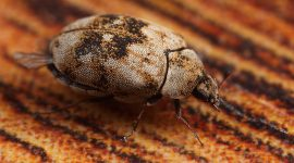 Does Boric Acid Kill Carpet Beetles?