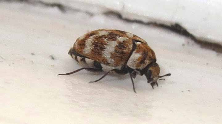 How can steam kill a carpet beetle infestation