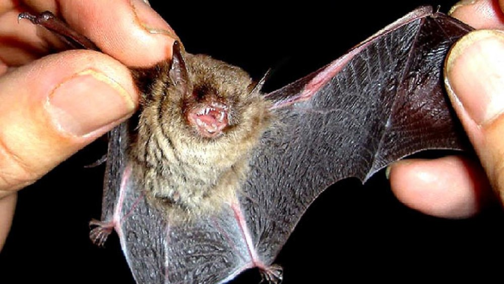 How to Check if there are Bats in Your Home