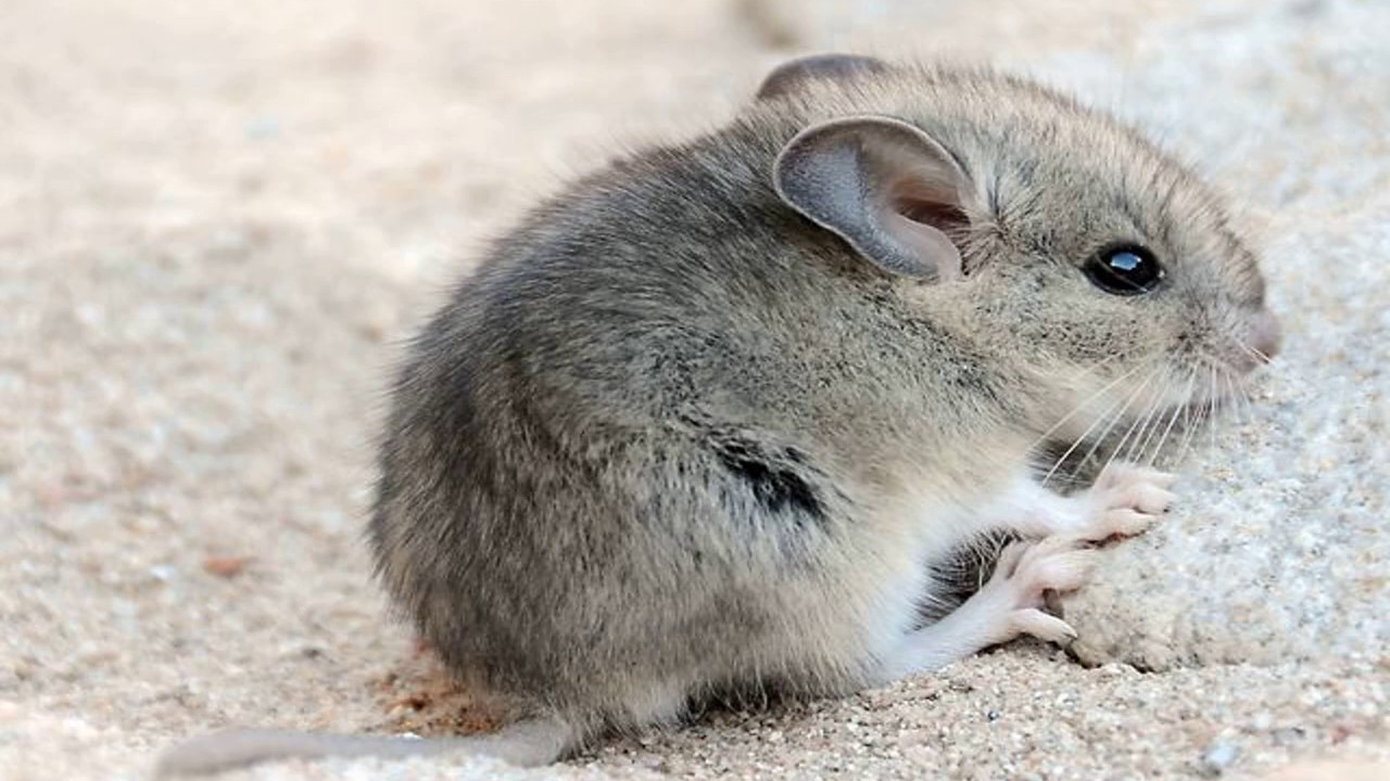 How to Eliminate Mice In Your Home Naturally