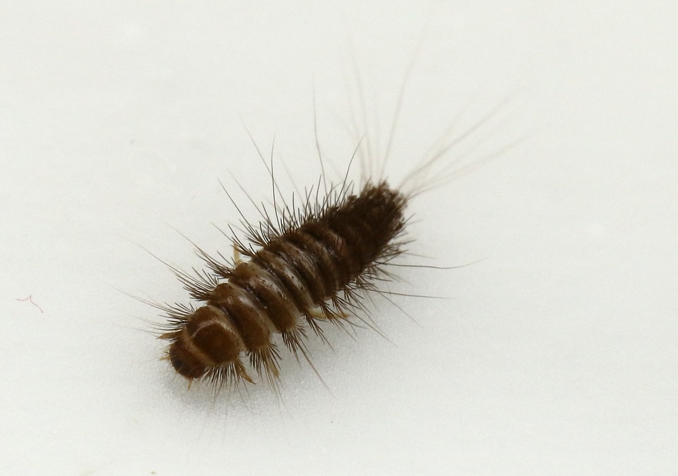 How to Get Rid of Carpet Beetles in Your House Naturally