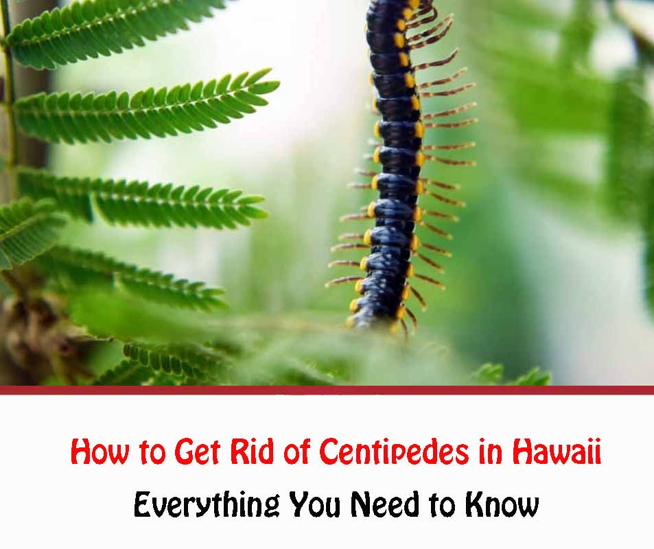 How to Get Rid of Centipedes in Hawaii