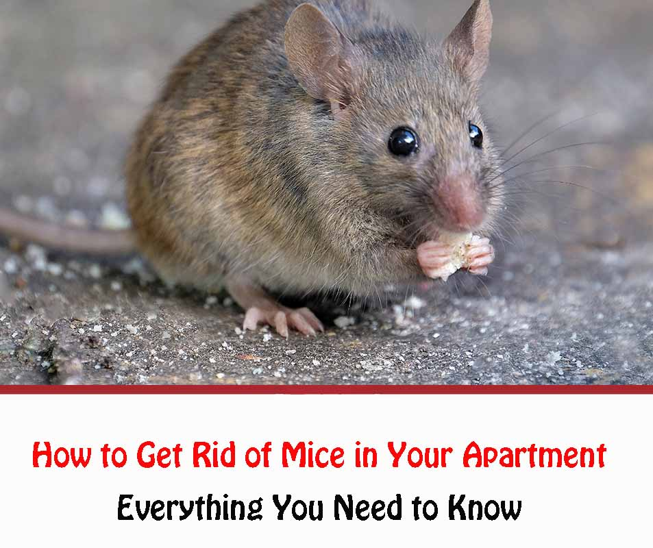 How to Get Rid of Mice in Your Apartment Naturally 2021