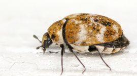 How to Get Rid Of Carpet Beetles In Car