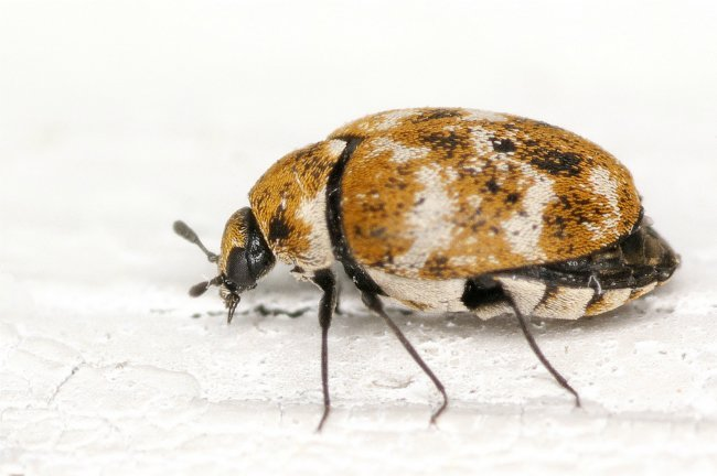How to Identify Carpet Beetles 2021