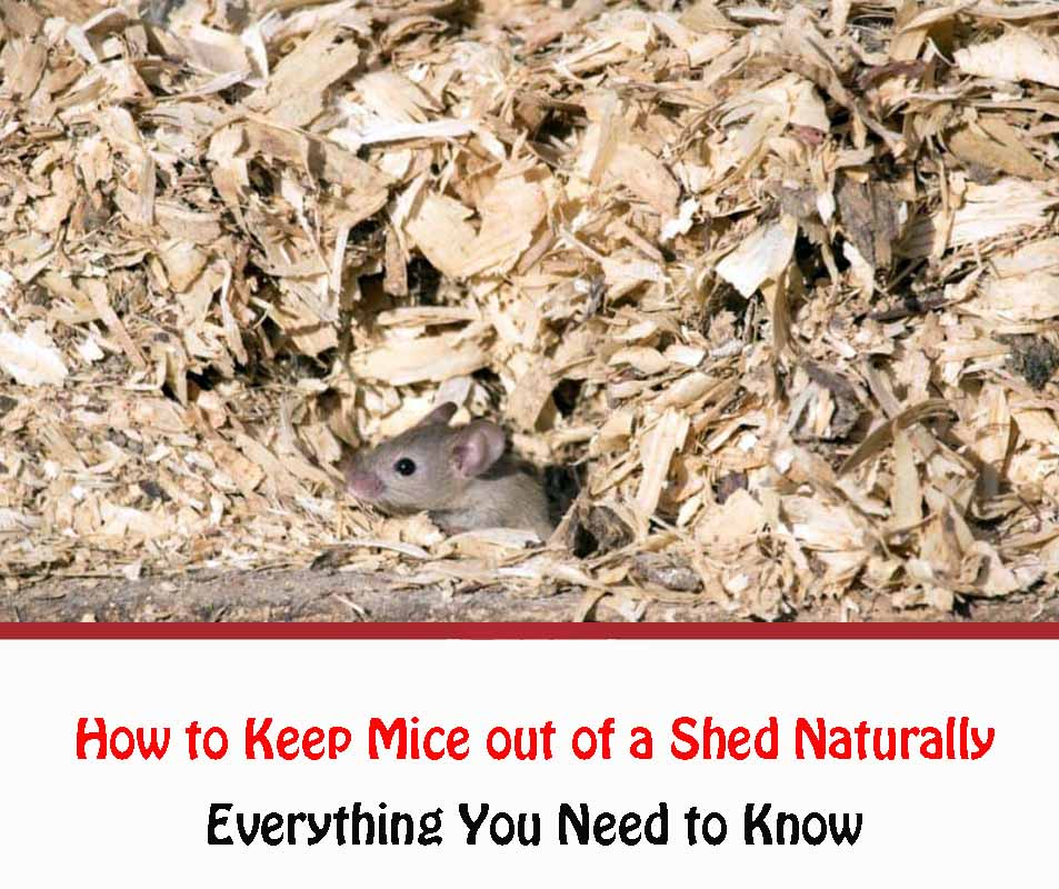 How to Keep Mice out of a Shed Naturally