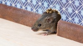 How to Get Rid of Mice in Your Apartment Naturally