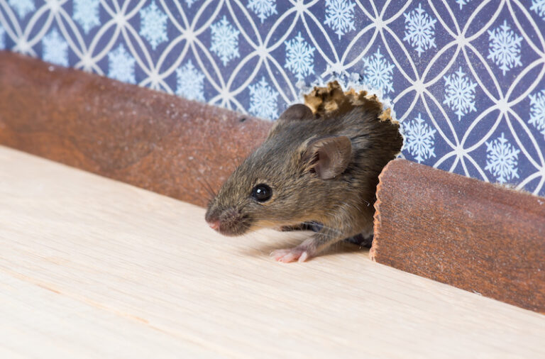 How to prevent future mice infestation in your home