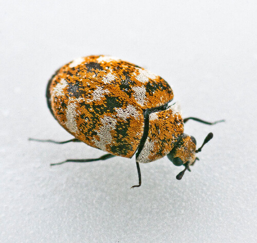 Signs Of Carpet Beetles In Your Couch
