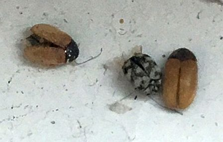 Signs of a carpet beetle infestation