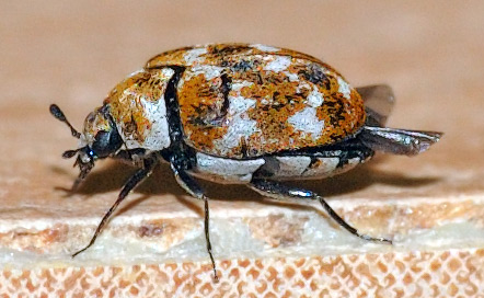 What Causes Carpet Beetles in your house