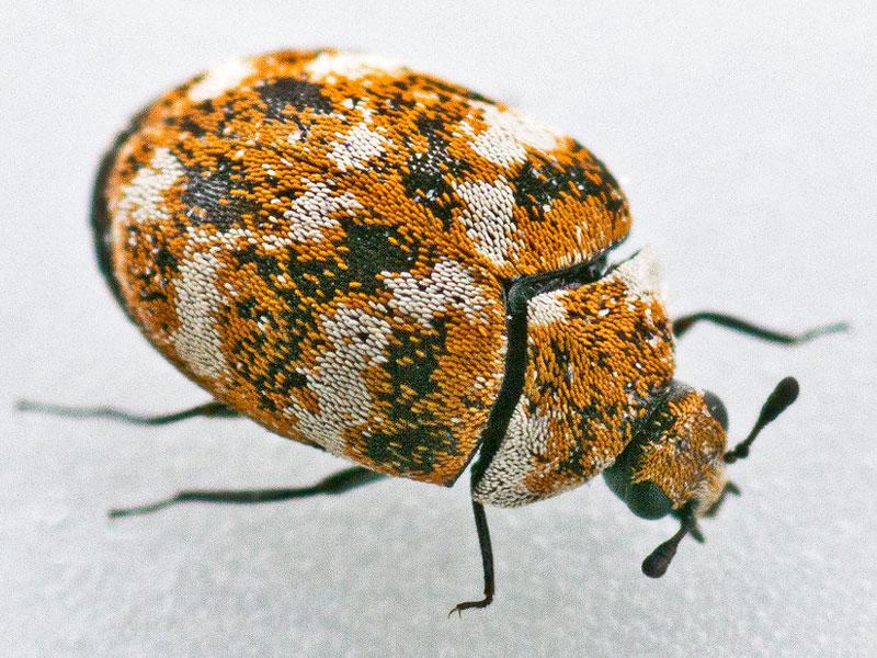 What Do Carpet Beetles Eat 2021