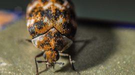 What Do Carpet Beetles Eat?