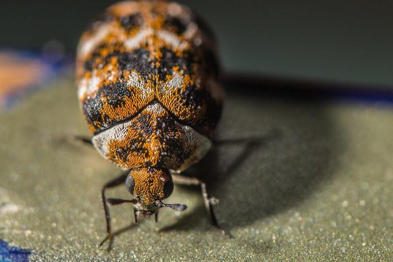 What Do Carpet Beetles Eat