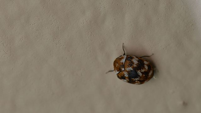 What Harms Do These Carpet Beetles Are Capable Of