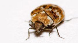 What Temperature Kills Carpet Beetles?