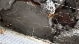 How Long Do House Spiders Live?
