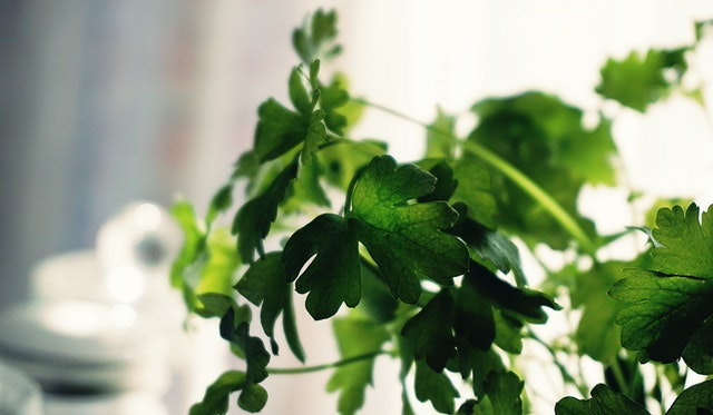 What bugs are attracted to cilantro