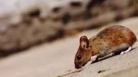 Why Do Mice Run In Circles?