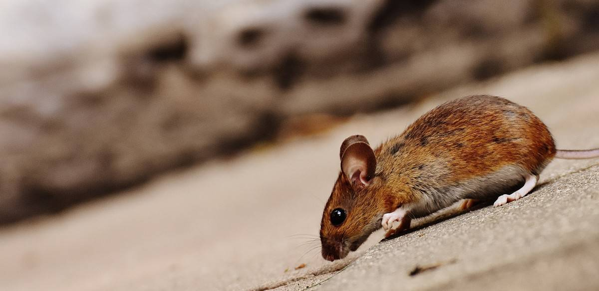 What can you do if your pet mouse runs in circles