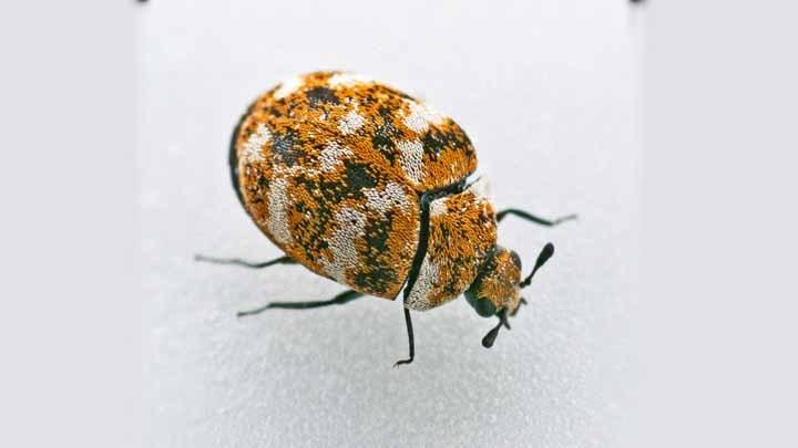 What do carpet beetle bites look like - Image By termitesblog
