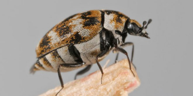 Where Are Carpet Beetles Found
