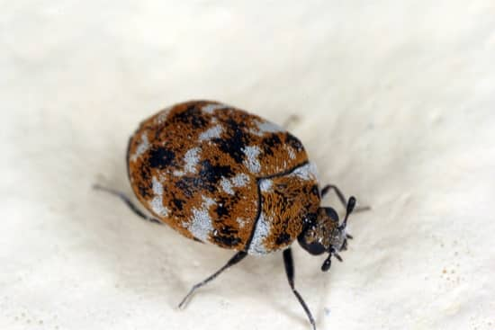 Where Can You Find The Carpet Beetle