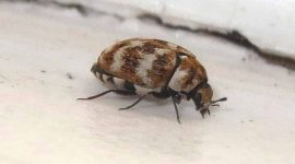 How Many Carpet Beetles Is An Infestation?